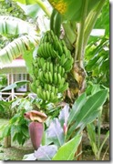 pohon-buah-pisang-204x300