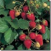 strawberry-plant2